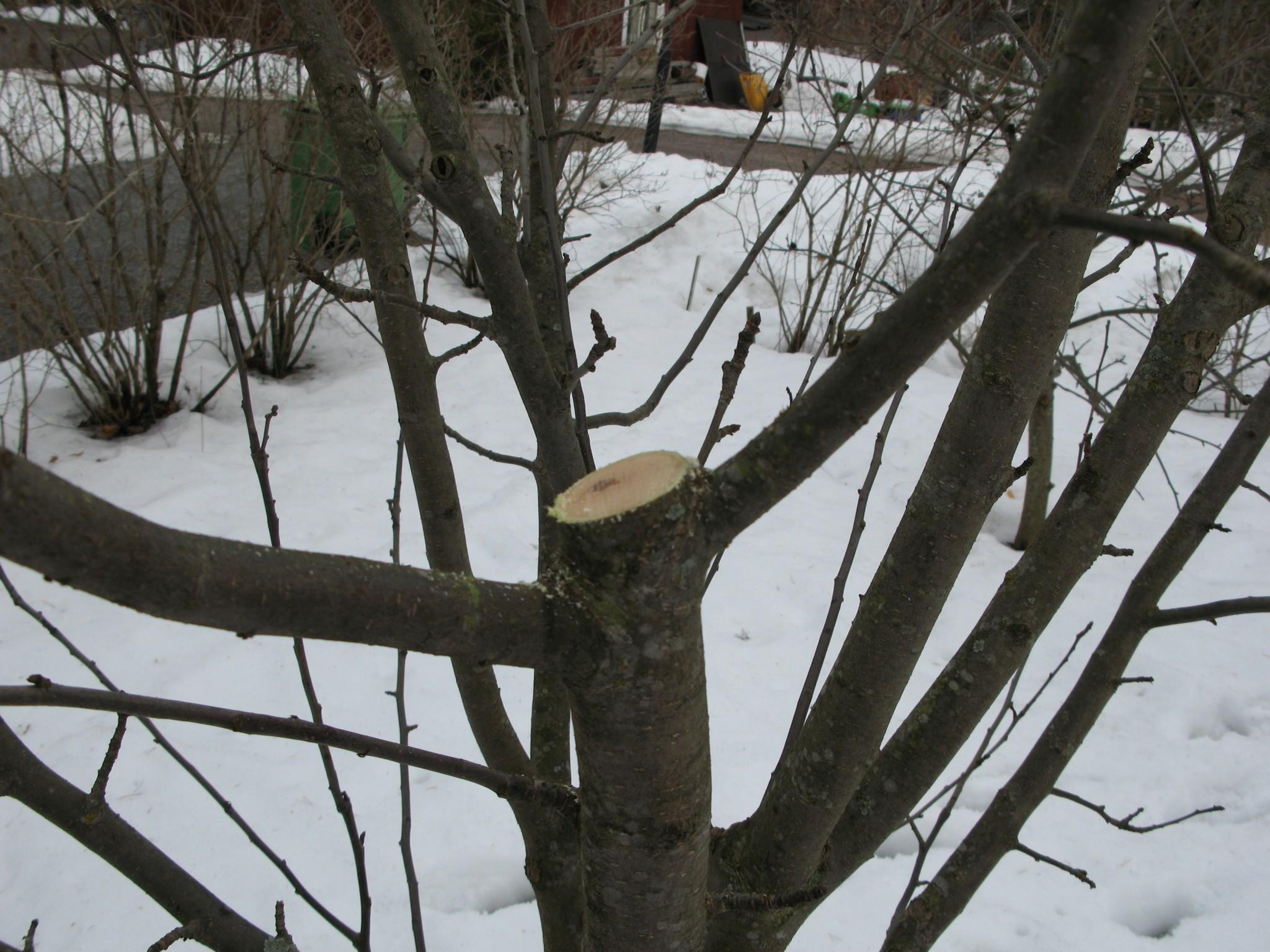 Omenapuun Lyhentäminen
