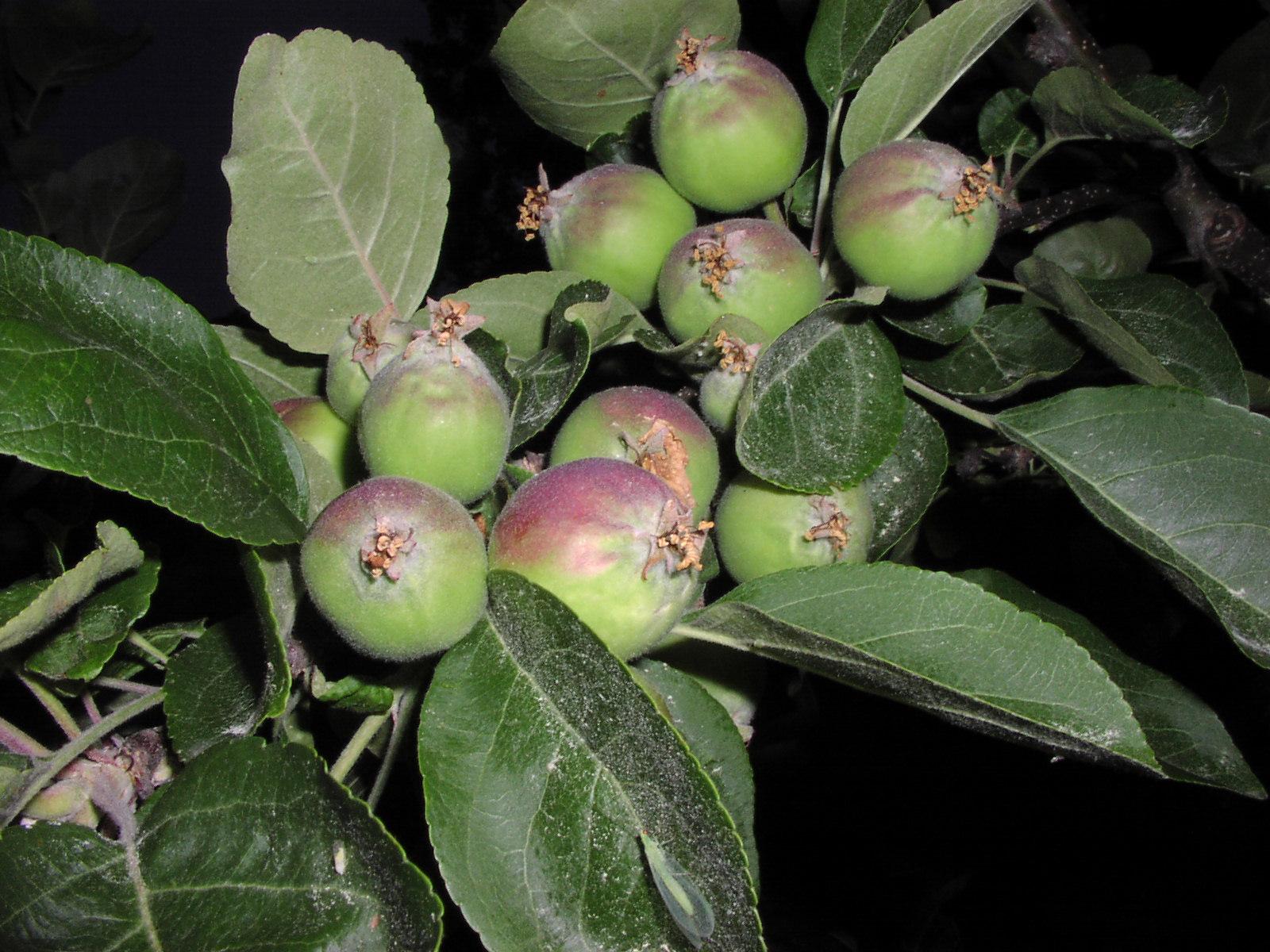 omenan raakileharvennus Entti2
