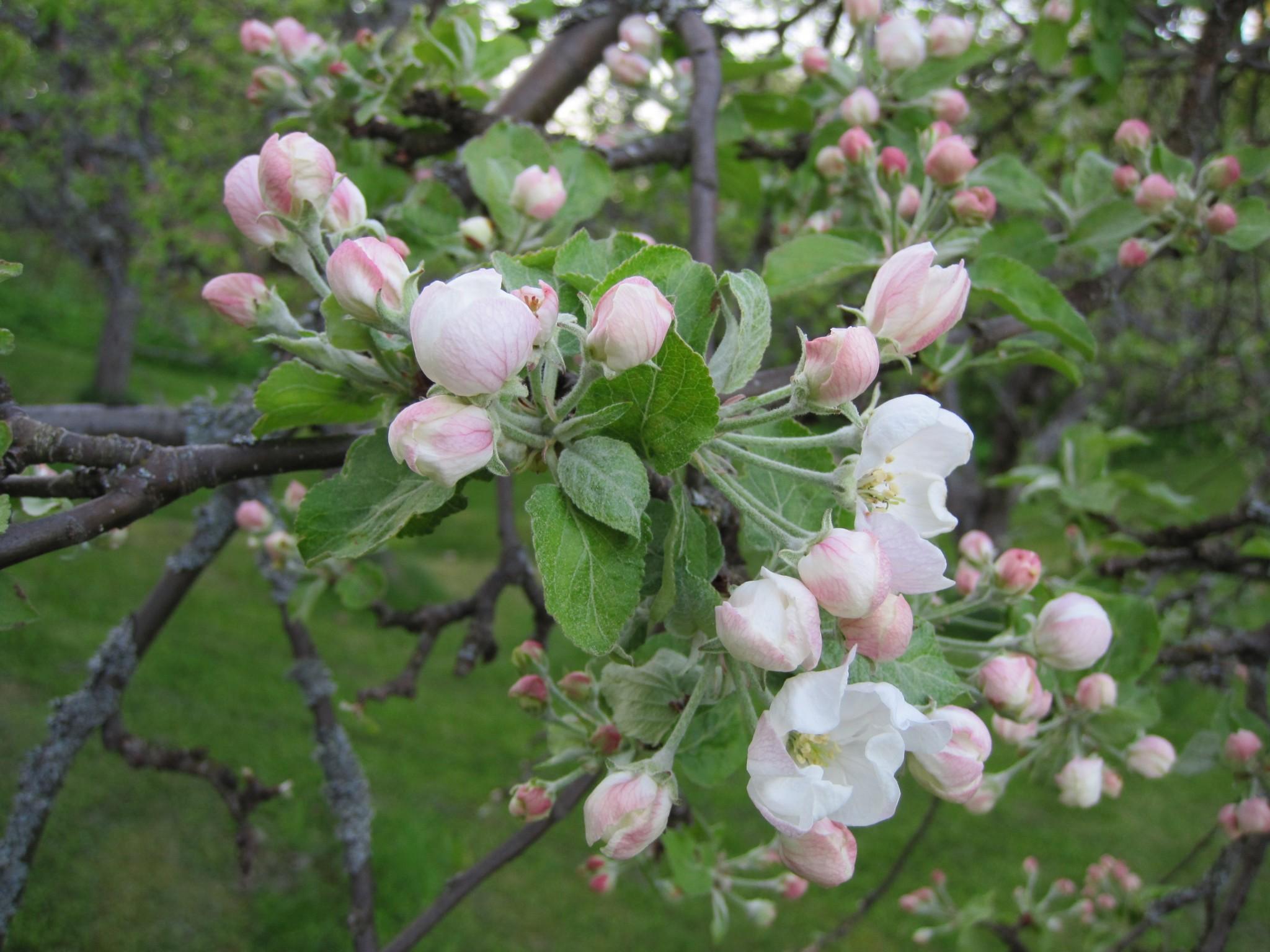 omenapuu Entti1