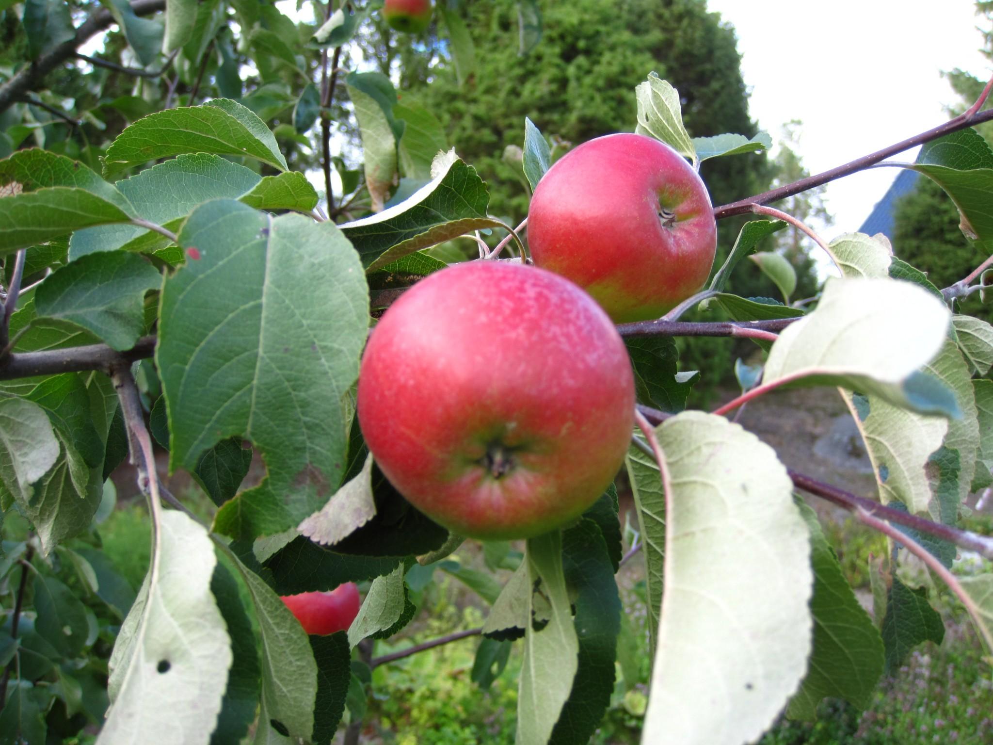 omena Entti3