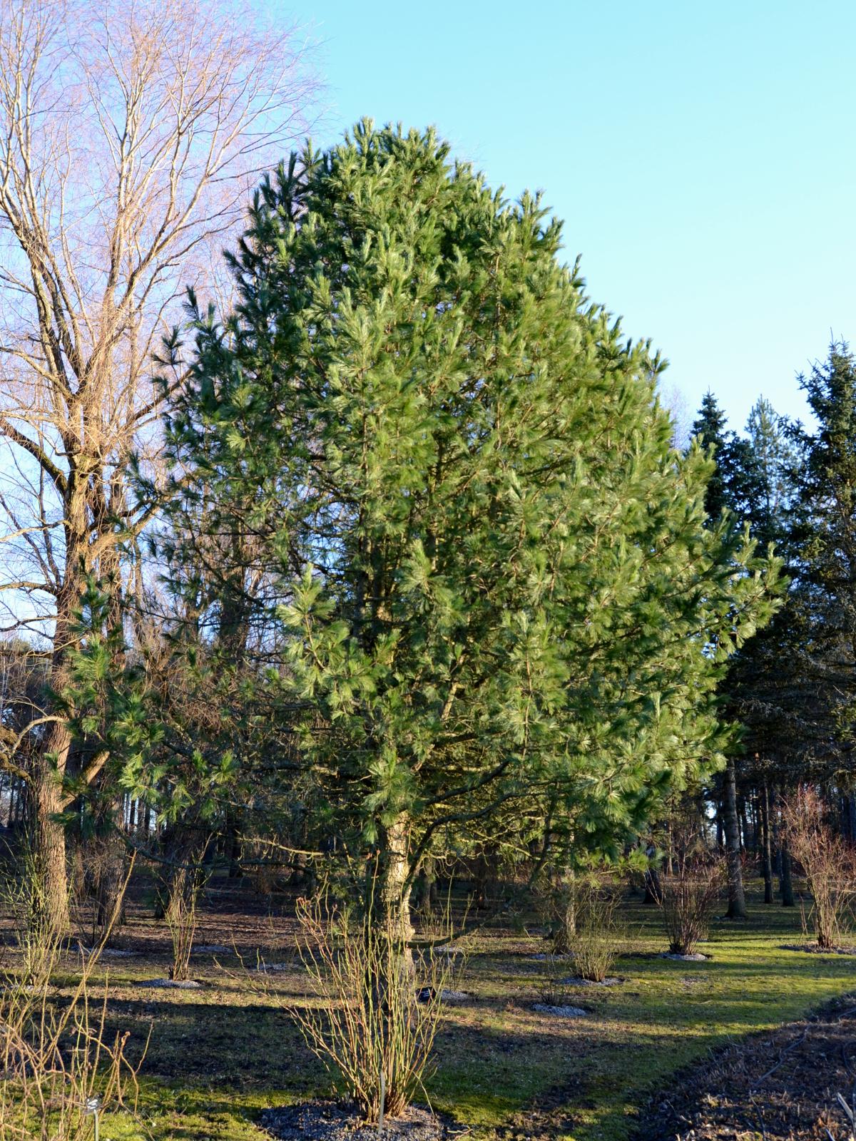 Sembramänty, upean uljas ja selvämuotoinen puu.
