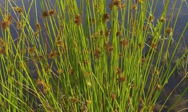 Kierreröyhyvihvilä (Juncus effusus 'Spiralis')
