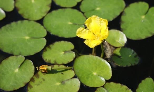 Lammikki (Nymphoides peltata)