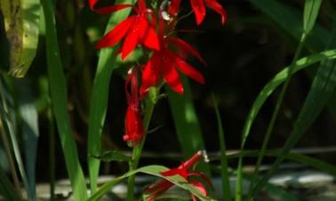Punalobelia (Lobelia cardinalis)