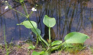 Ratamosarpio (Alisma plantago-aquatica)