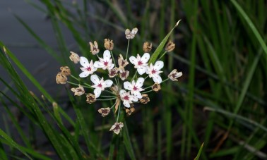 Sarjarimpi (Butomus umbellatus)