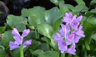 Vesihyasintti (Eichhornia crassipes)