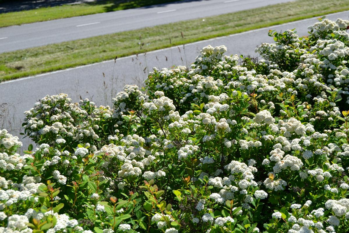 Varma peittäjä ja kukkija sekä syysväriltään upea koivuangervo.