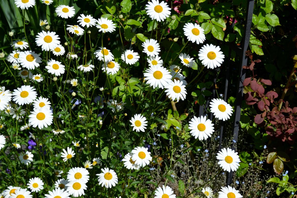 Päivänkakkaroita... Mainio kukka!