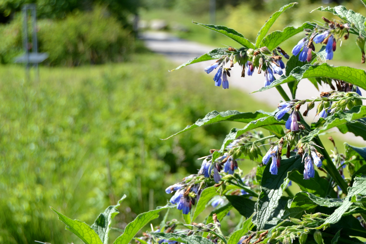 Raunioyrtti, ainakin Turun seudun ihana kukkija!