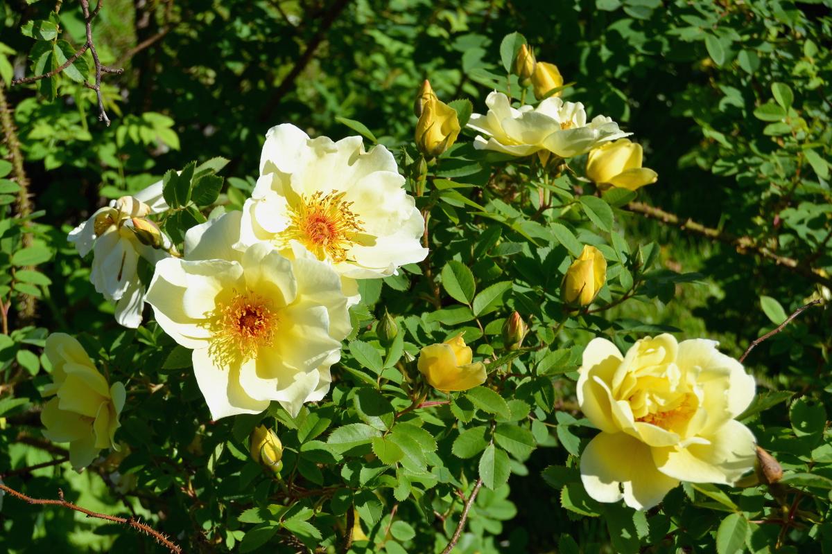 Hieman keltaistakin väriä näihin ruusukuviin.