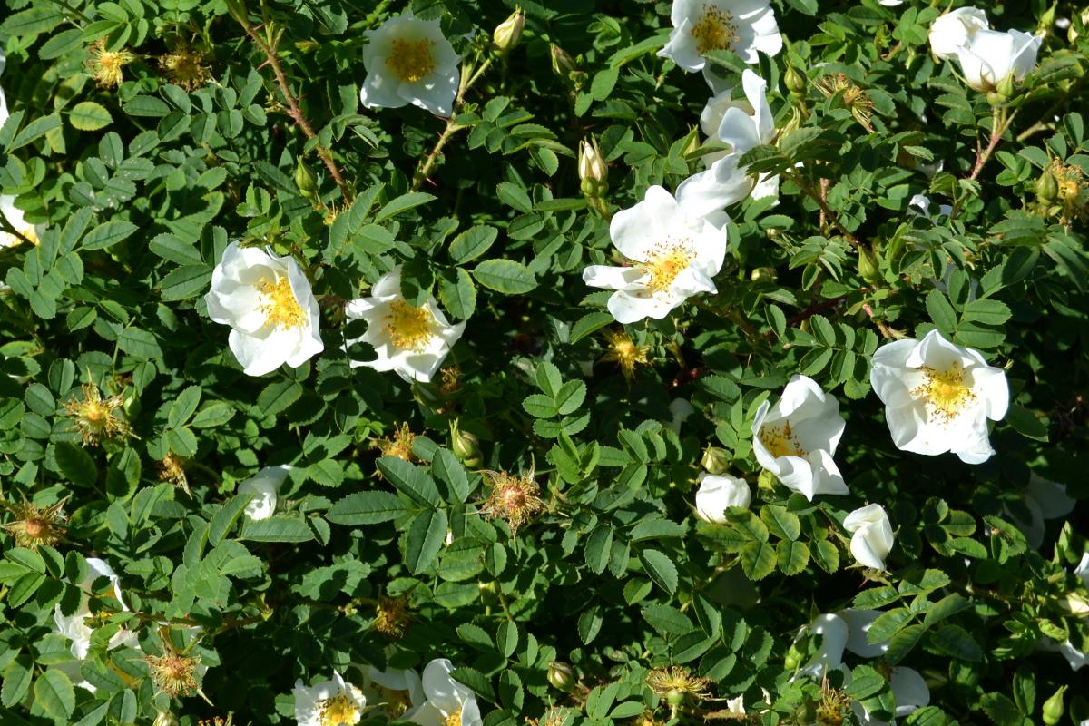 Kaunis pienikukkainen ruusu. Myös pensas oli varsin hillitty kooltaan!