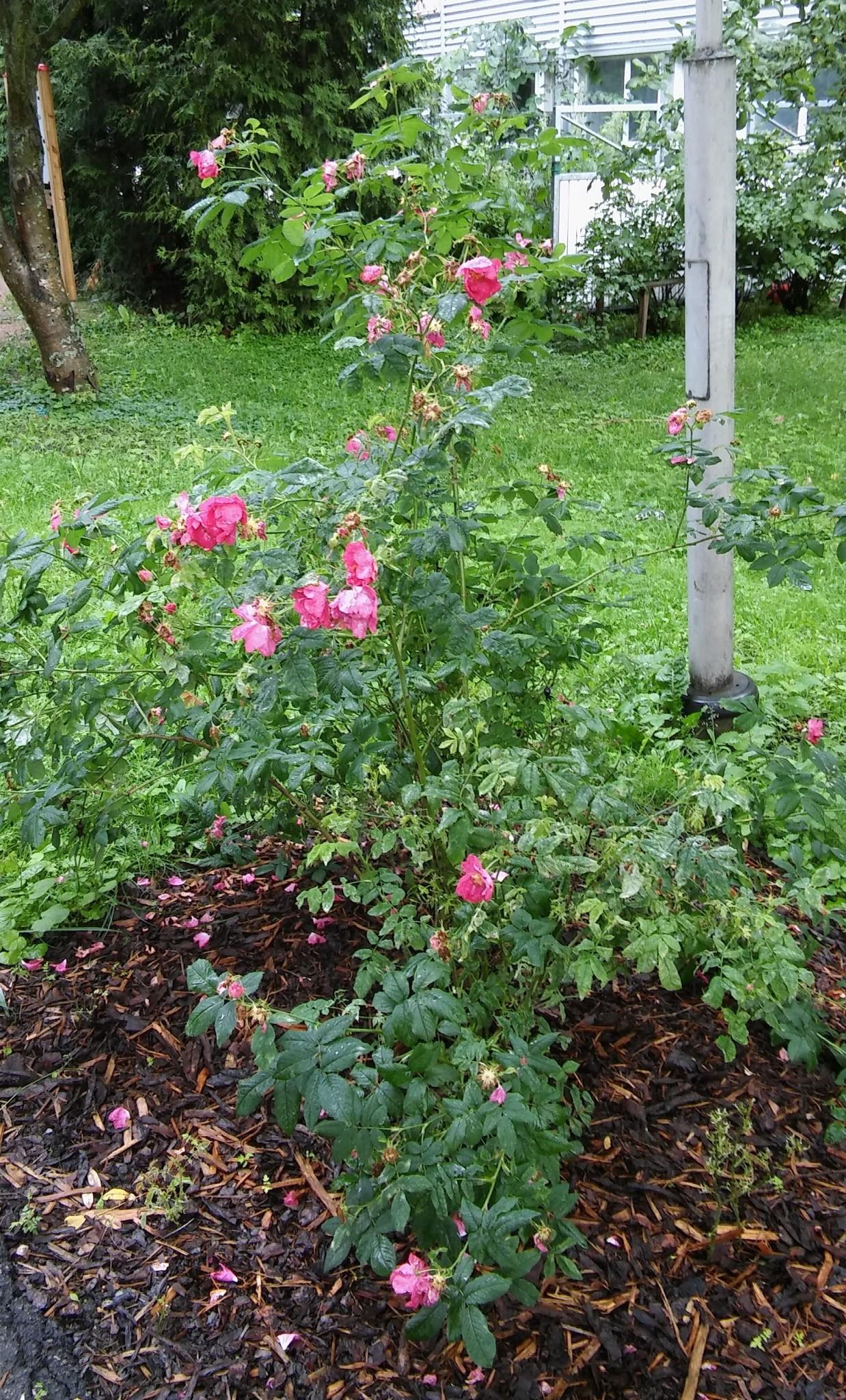 Ruusujen väleihin mahtuu rikkoja paljon ja niitä on ikävä kitkeä