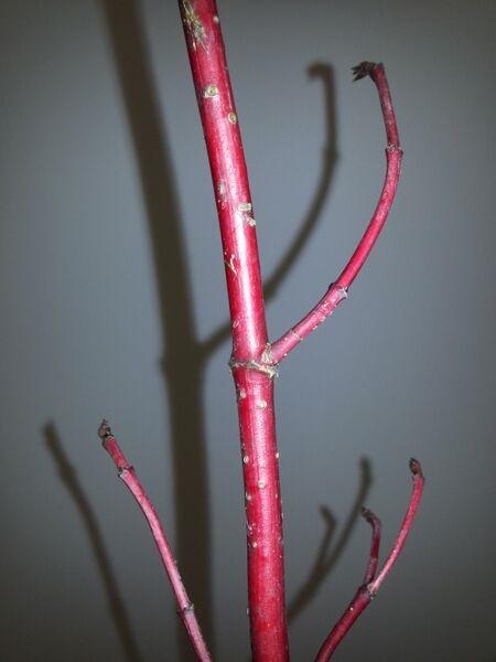 Korallikanukan oksa on upean punainen ja täynnä pieniä korkkihuokosia.