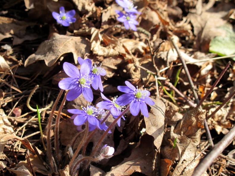Hepatica nobilis - sinivuokko