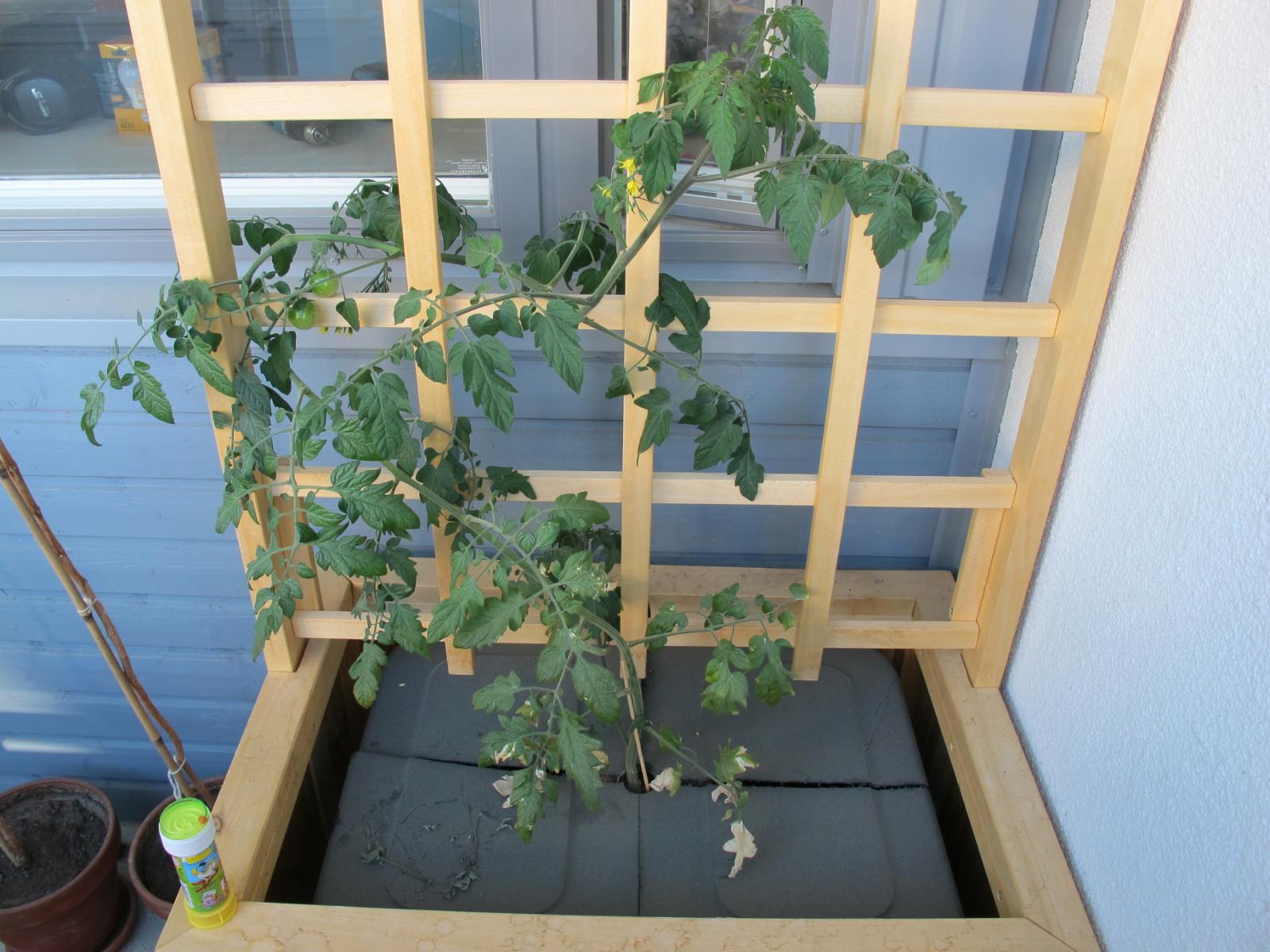1kk ikäinen vesiviljelty tomaatti