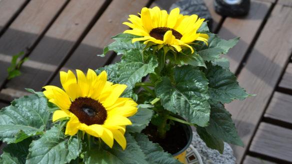 Auringonkukat astioissaan