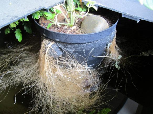 Vesiviljellyn tomaatin juuristo