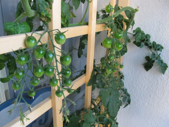 Vesiviljellyn tomaatin kasvusto