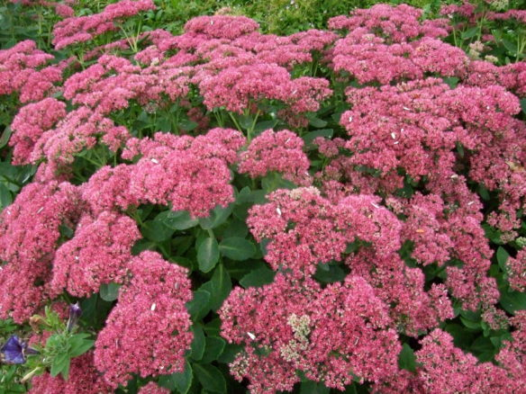 Sedum spectabile'Brilliant'
