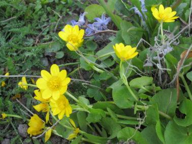 Mukulaleinikki (Ranunculus ficari)