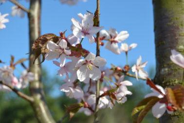 Rusokirsikka (Prunus sargentii)