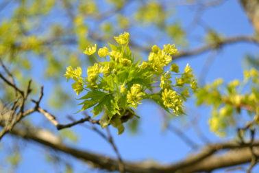 Vaahtera (Acer Platanoides)